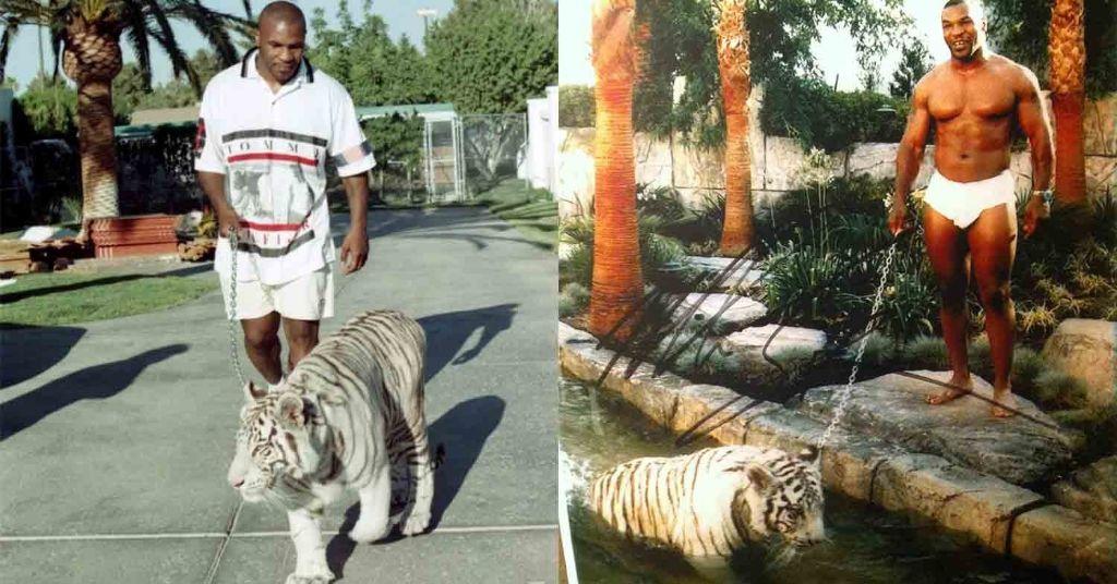 тигры тайсон