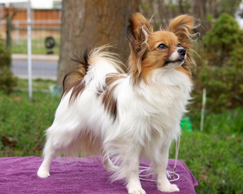 собака папильон