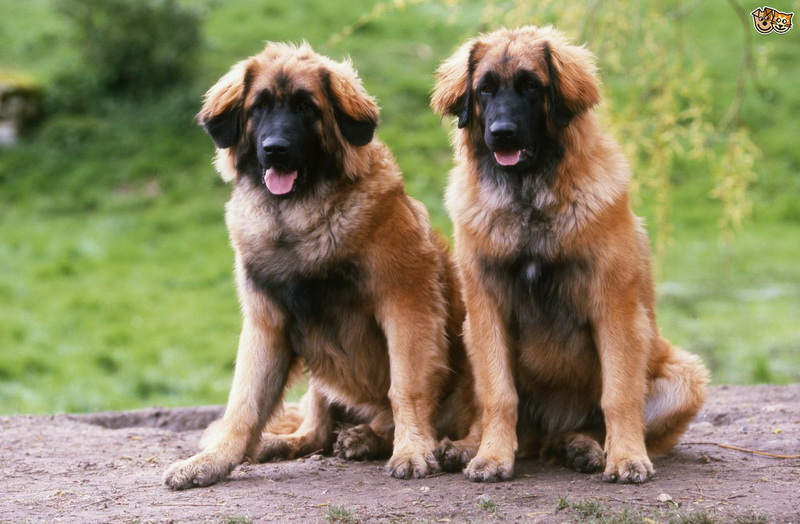 собака леонбергер