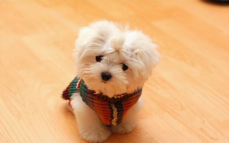 породы карликовые собак фото