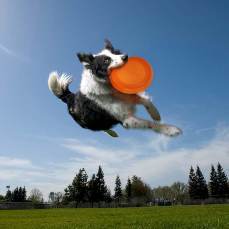 фрисби собака