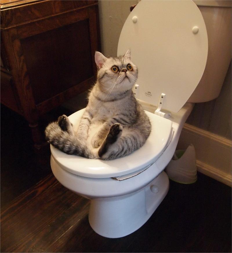 кошка туалет