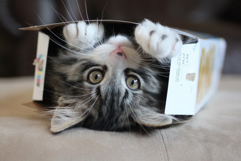 кошка коробка
