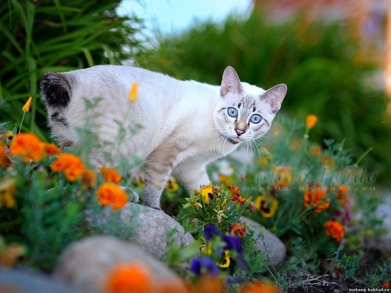 бесхвостые кошки
