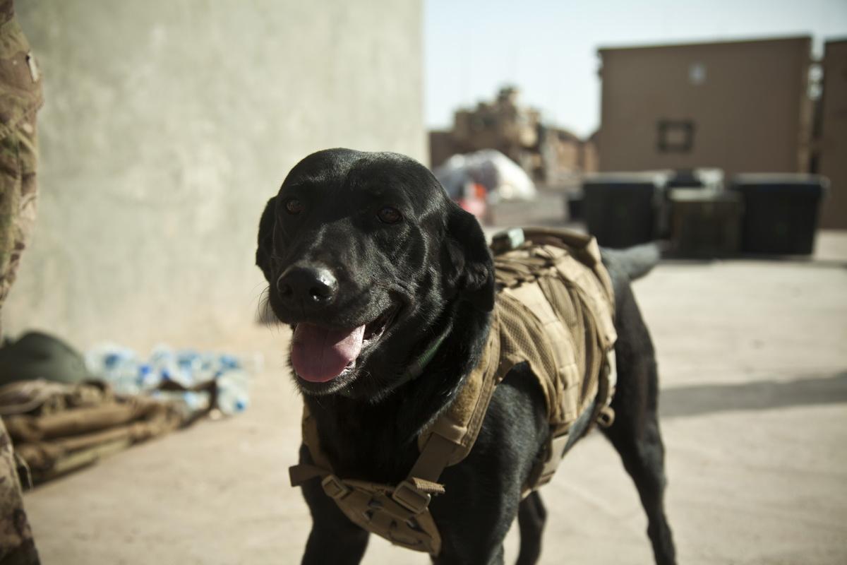 собака военный