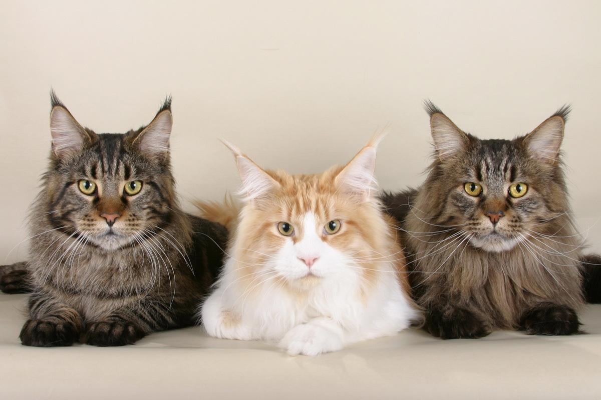 коты рекордсмены