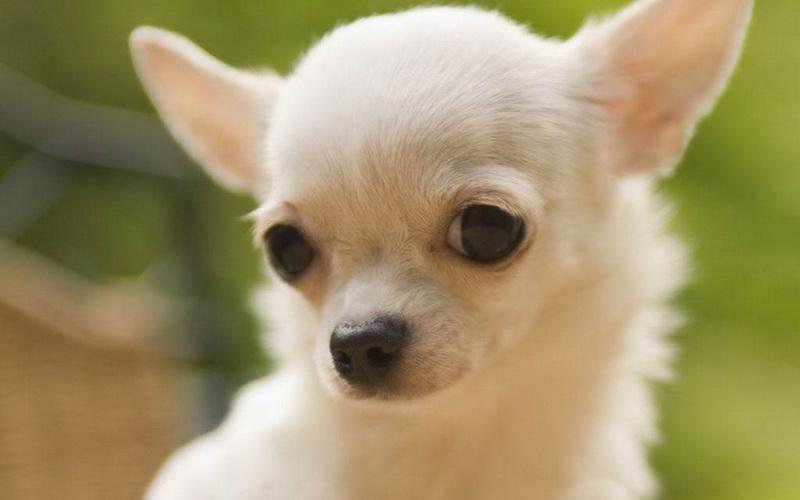 собака чихуахуа