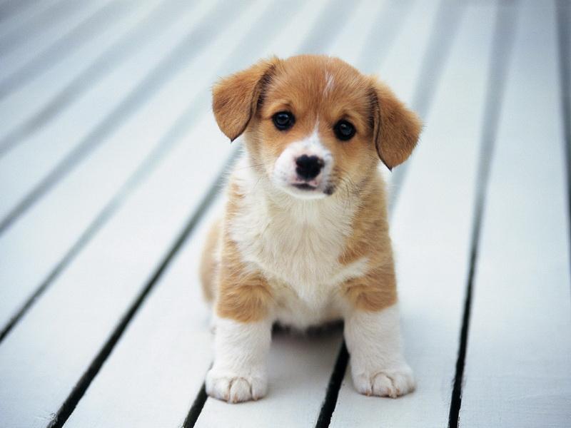 щенок смотрит