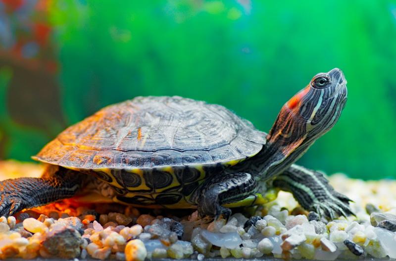 пресноводная черепаха