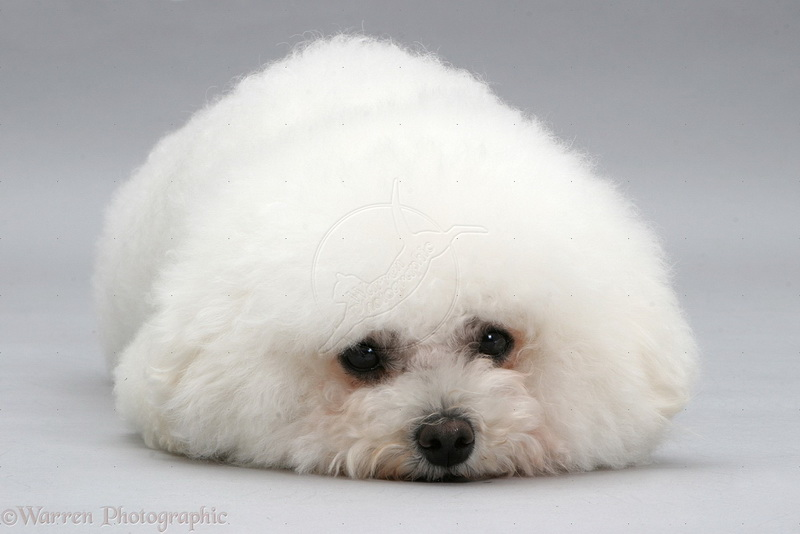 собака бишон-фризе