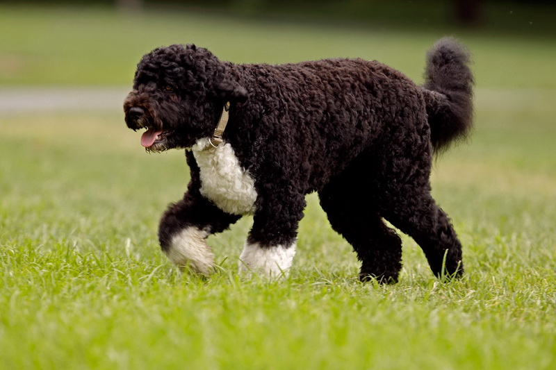 португальская водная собака