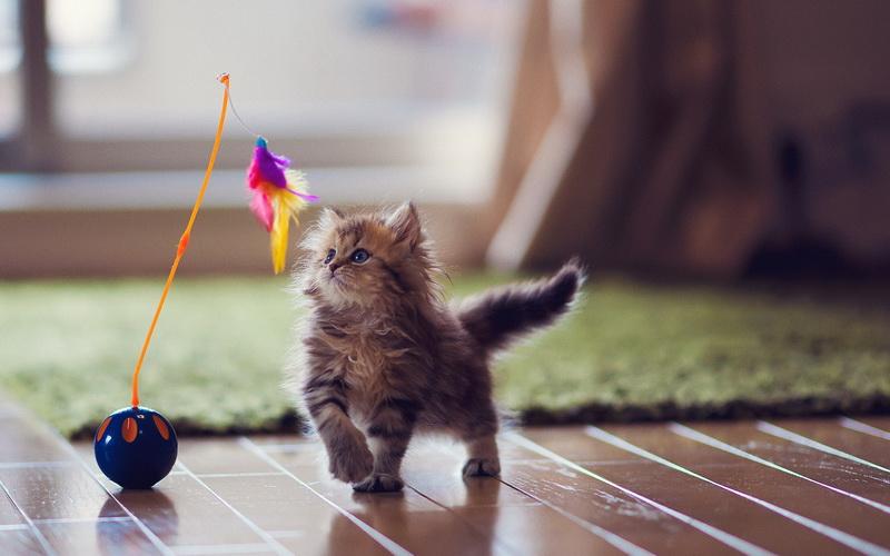 воспитание кошки