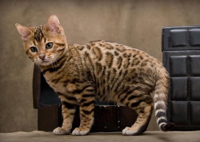 кошка каллерка