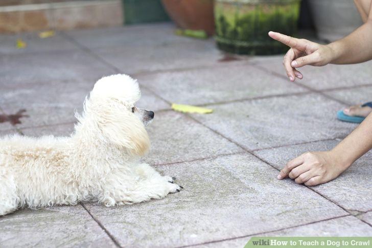 собака фас