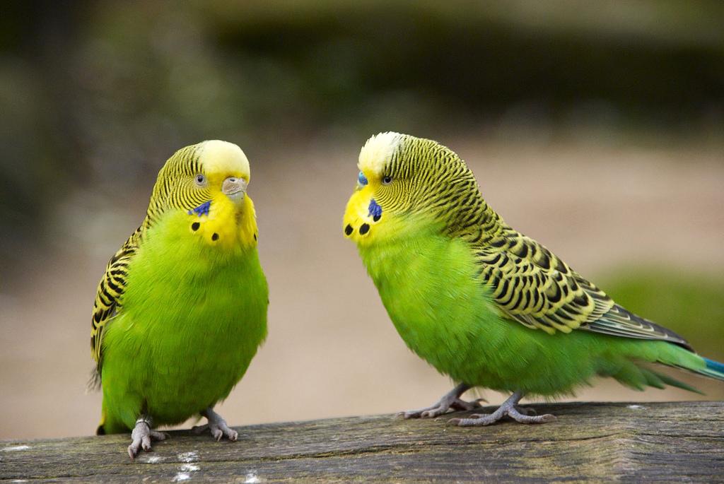 пол волнистого попугая