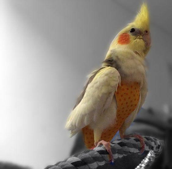 подгузники для попугаев