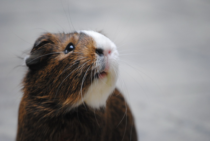зубы морская свинка