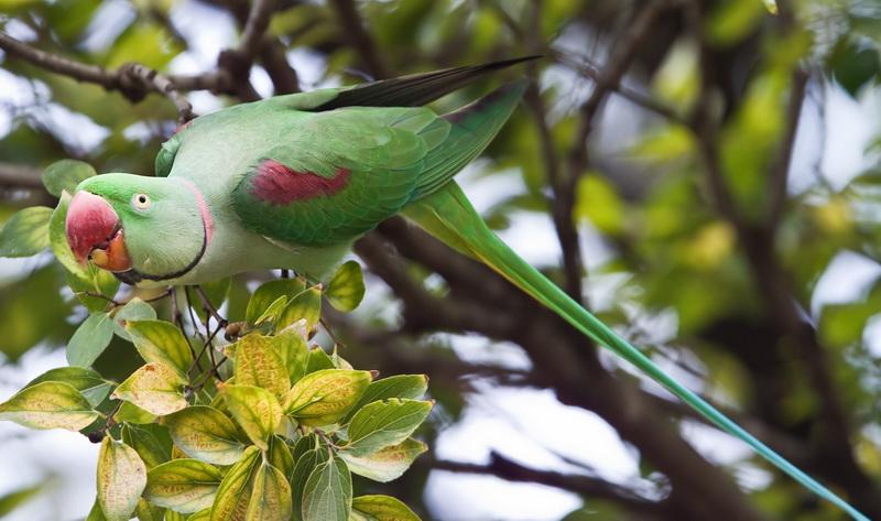 большой ожереловый попугай