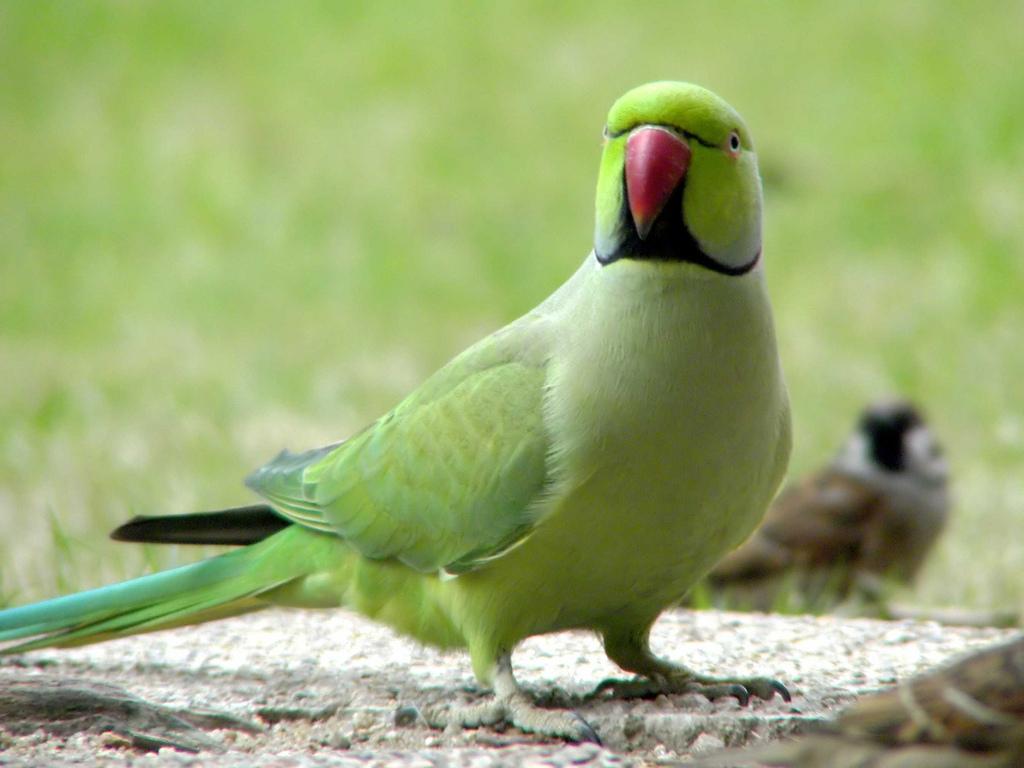ожереловый попугай крамера