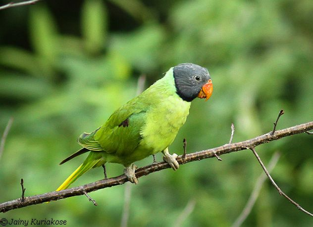 гималайский ожереловый попугай