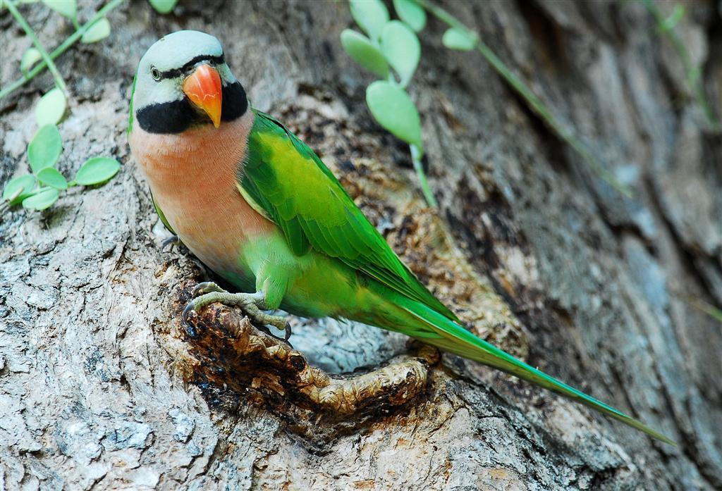 розовогрудый ожереловый попугай