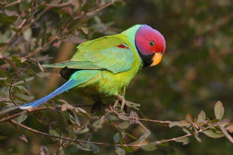 сливоголовый ожереловый попугай