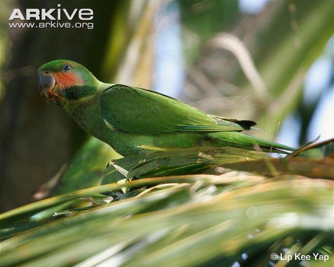 длиннохвостый нитехвостый попугай