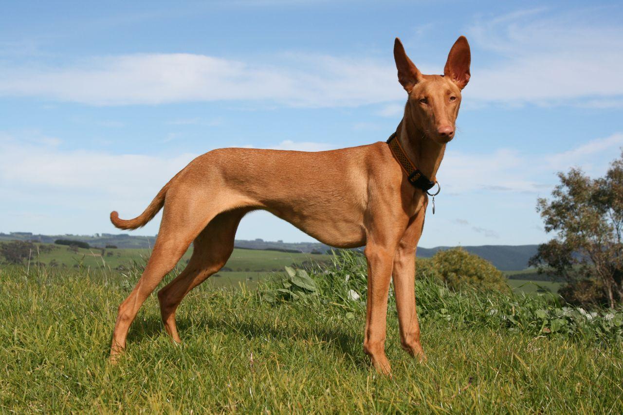египетская фараонова собака