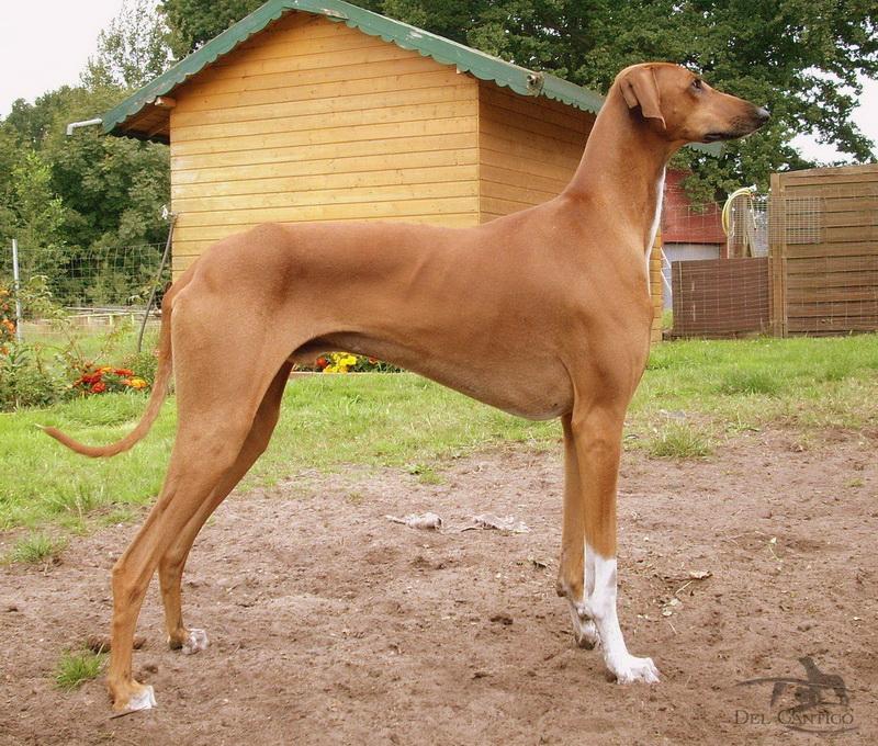собака азавак