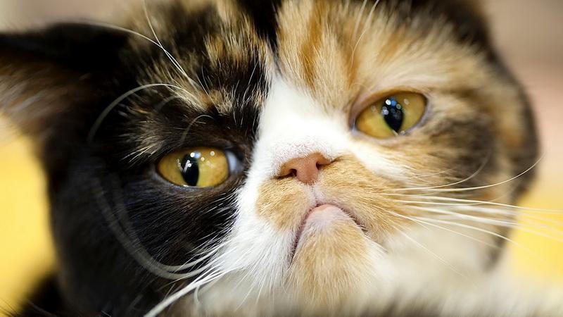 лишаи у кошки