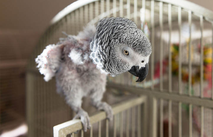 попугай выдергивает перья
