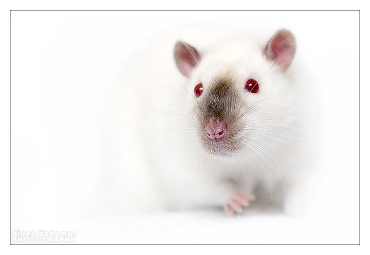 содержане крыс