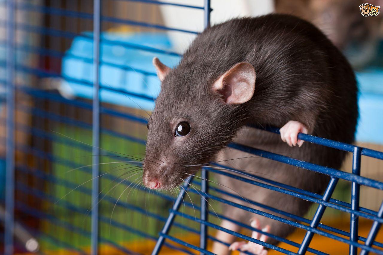 содержание крыс