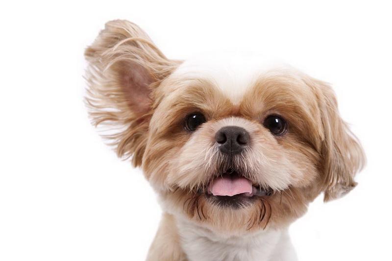 чистим ушки собаки