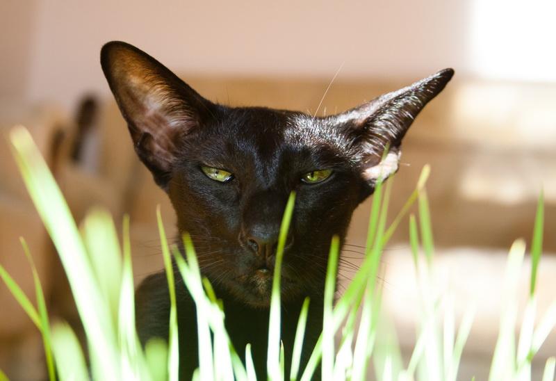 кошка ест траву