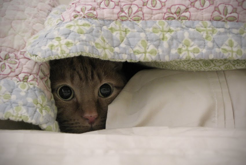 кошка токсоплазмоз