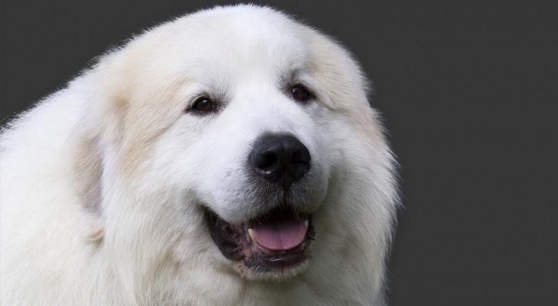 собака дюк
