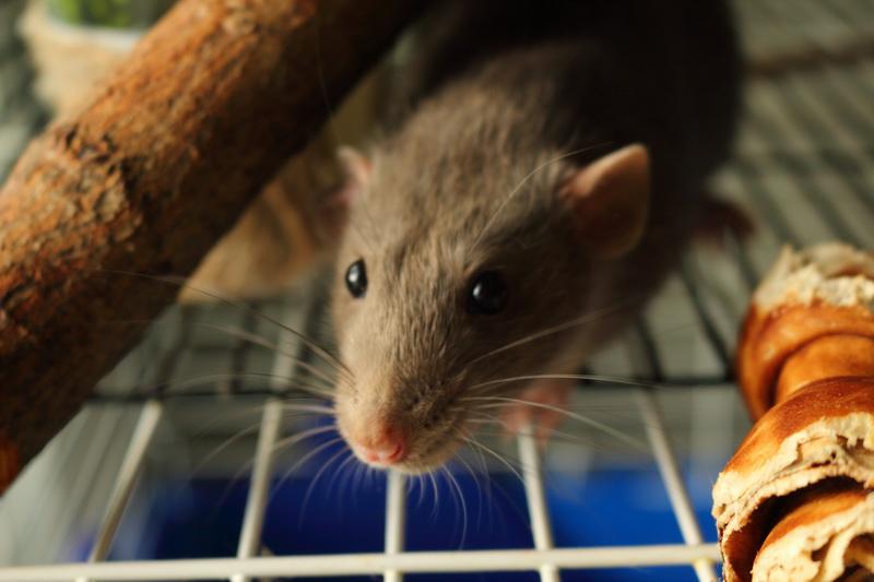 болезни крыс