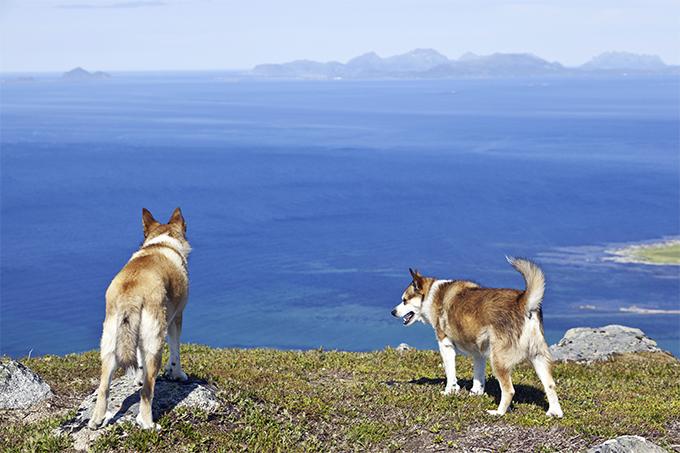 норвежский пес