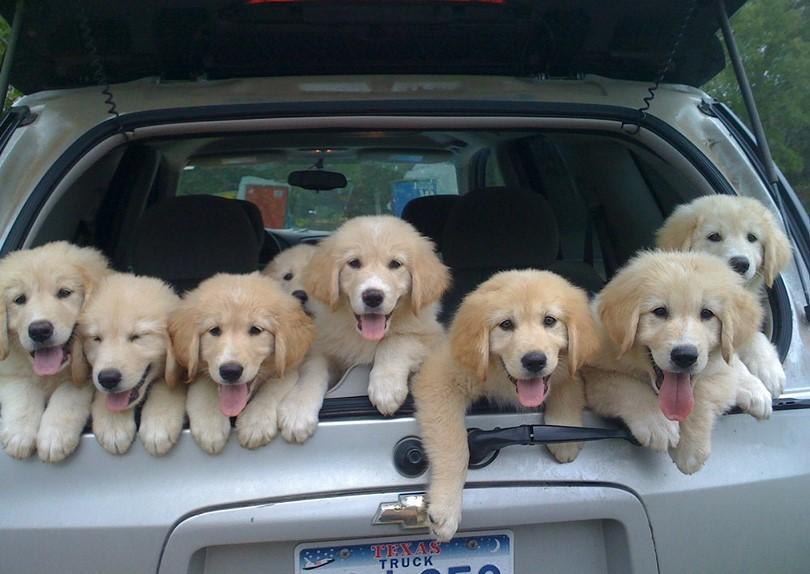 веселые собачки в машине