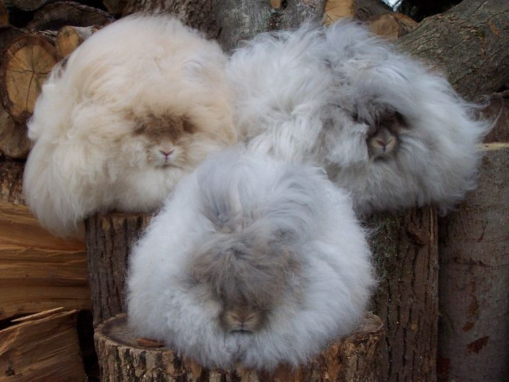 Три пушистых кролика