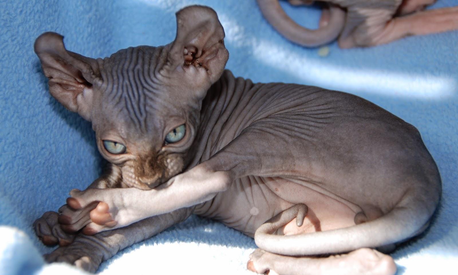 Эльф. ушастая кошка
