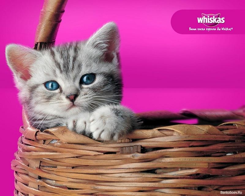 котенок из рекламы вискас