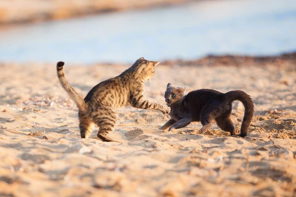 кошки играют на пляже