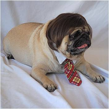 Мопс в парике