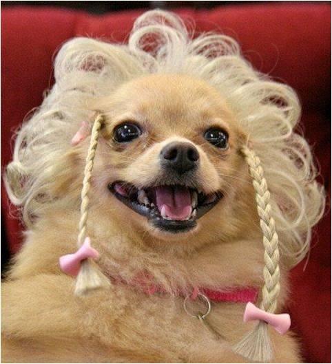 Собака улыбака в парике