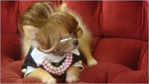 собака в очках и парике