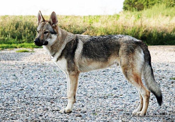 чегский волчак на улице