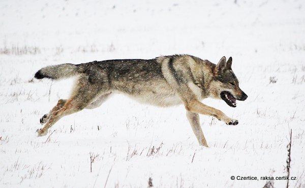 Чешский волчак бежит по снегу