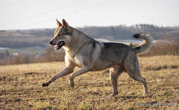 чешский волчак  красивая собака